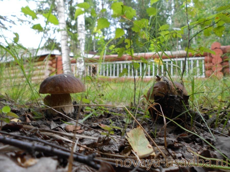 Сбор нового урожая белых грибов